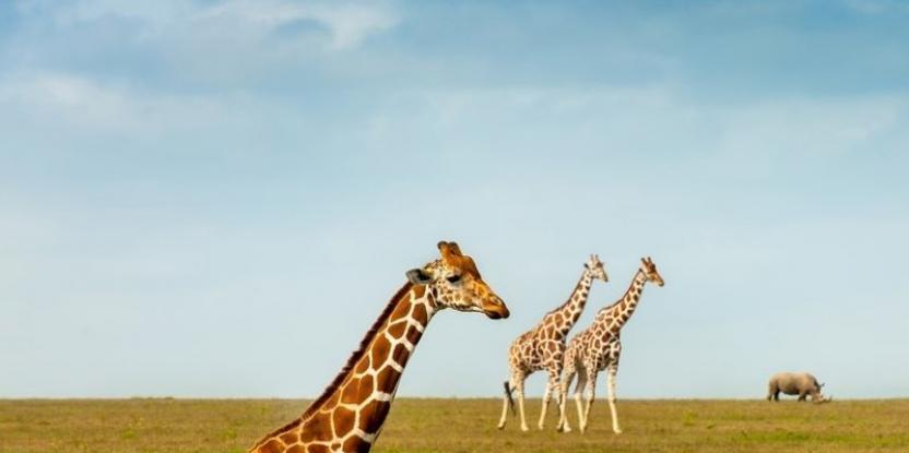 Endangered Giraffes: Here's Why We Should Be Concerned About the World's Tallest Animal